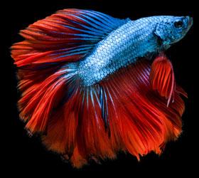 fisch blau rot auf schwarzem hintergrund